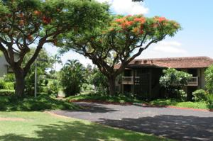 Royal_poinciana_trees_3